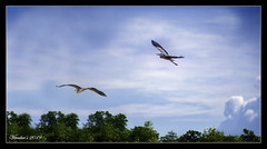 Morning Flight (VERODAR) Tags: heron sky clouds treeline birds wildlife nature natureandwildlife nationalpark nikon verodar veronicasridar
