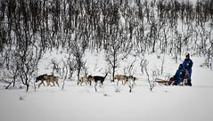 L'altre trineu / The other sledge (SBA73) Tags: noruega norway norge troms tromso tromsø artic hivern winter neu nieve snow schnee fred frio cold breivikeidet trineu gos gossos huski dog dogs sledge perros trineo frozen
