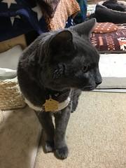 Bonkers Wants His Second Dinner 1 (sjrankin) Tags: 14march2019 edited animal cat closeup livingroom kitahiroshima hokkaido japan bonkers tunic floor yuba