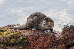 Otter (cazalegg) Tags: otter scotland mammal loch linnhe wildlife nikon nature sea