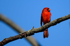 Happy Cardinal (Eric Tischler) Tags: birds ohio cardinal red branch blue sky