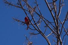 03-17-2019 Cardinal IMG_4609-L (mnchilemom) Tags: birds cardinal spring
