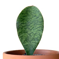 Sansevieria Whale Fin (Kenny Song) Tags: plants sansevierias