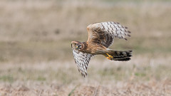 Hen Harrier (JS_71) Tags: nature wildlife nikon photography outdoor 500mm bird new winter see natur pose moment outside animal flickr colour poland sunshine beak feather nikkor d500 wildbirds planet global national wing eye watcher