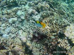 Maldives (Andy Latt) Tags: 20181124091935 andylatt maldives moofushi indianocean ocean sea coral fish