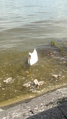 Little swan on the back of his mother (Nature is my passion) Tags: vogeljunges vogel see bodensee schwan lake swan water bird