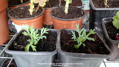 Marguerite cuttings in mini-greenhouse on balcony 20th March 2019 (D@viD_2.011) Tags: marguerite cuttings minigreenhouse balcony 20th march 2019