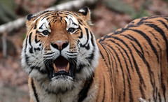 amurtiger Ouwehands 094A0022 (j.a.kok) Tags: animal mammal zoogdier dier predator ouwehands tijger tiger amurtiger amoertijger