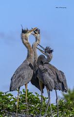 Great Blue Heron(same family) (Mike_FL) Tags: greatblueheronsamefamily nikon nikond7500 nature tamron100400 outdor wakodahatcheewetlands wetlands floridawildlife florida wildlife photograph park image