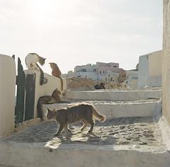 Cats (samorodovs) Tags: 6x6 греция hasselblad санторини greece santorini cats film 160nc portra planar 8028 500 cm