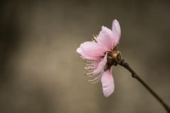 DSC_6949 (gitte123) Tags: blossom pink soft nature macro dreamy pastel