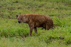 Spotted Hyena, Satara, Kruger National Park, Jan 2019 (roelofvdb) Tags: 2019 carinvores date january knp place satara southernafricanmammals spottedhyena year car23