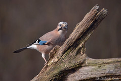 Ghiandaia _0012jpg (Rolando CRINITI) Tags: ghiandaia uccelli uccello birds ornitologia avifauna tricerro natura