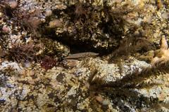 Brown Crab (Cancer pagurus) (Jlynott) Tags: canonpowershotg7xmkii canong7xmkii g7xii g7xmkii