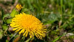 Dandelion (Andy Sut) Tags: dandelion flower nature england uk flora macro yellow lumix andysutton bridgecamera amateur panasonic