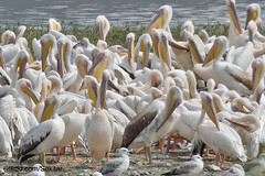 Pelicans, Man Sagar Lake, Jaipur (Sekitar) Tags: rajasthan india indian asia southasia south nature alam animal pelicans man sagar lake jaipur waterbird bird