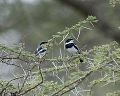 Chinspot Batis (Mark Vukovich) Tags: chinspot batis bird ndutu lodge tanzania
