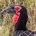 Southern Ground Hornbill, Maasai Mara