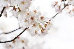 Yoshino cherry (Prunus×yedoensis) (takapata) Tags: sony sel90m28g ilce7m2 macro nature flower sakura