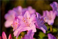 pink azalea (atsjebosma) Tags: macromondays pastel macro mondays azalea flower bloem garden pink roze atsjebosma groningen nederland thenetherlands tuin nature coth5 ngc npc