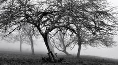 La relève...       Youngs're coming... (Evim@ge) Tags: arbre tree mist misty grésivaudan pommier appletree brume outside noiretblanc blackandwhite verger orchard winter hiver