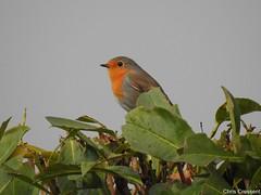 Rouge-gorge familier (chriscrst photo66) Tags: bird animal oiseau rougegorgefamilier haie jardin refuge lpo gironde photographie nature wildlife photography nikon