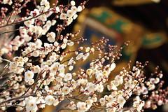 Blossom (Teruhide Tomori) Tags: ume plum spring tree flower kyoto japan japon kitanotenmangushrine nature 京都 北野天満宮 北野天神 日本 梅 春 花 blossom