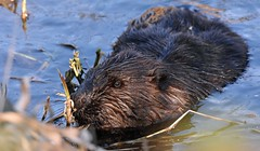In search of food (Snixy_85) Tags: beaver