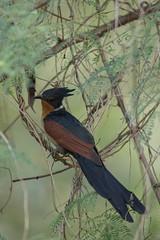 Chestnut-winged Cuckoo (MEphotog) Tags: chestnut winged cuckoo singapore wild migratory bird