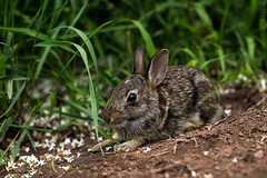 Darwin (Marissa Mancini, R.T.(R)) Tags: nikond600 beautiful exploration explore exploring green nikon nature photo photography vegetation rabbit bunny animal mammal 50 50mm cute adorable brown easter pet