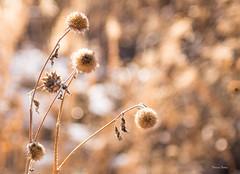 Wildlife (Theresa Finley) Tags: wildliferefugelinda2019 bush straw flowers back lit sunshine sunlight sun bokeh nikon d750 grass smile joyful warm tones shades brown saturday dreaming