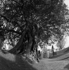 Veteran (4foot2) Tags: veteran wivelsfield stpeterandstjohnthebaptist churchyard yew zodiak8b3530fisheyelens zodiak8b 3530 fisheye зодиак8б kiev kiev88cm 88cm киев88cm hasselbladski ilford ilfordhp5 kodak kodakhc110 hc110 bw blackandwhite monochrome mono taxusbaccata taxus tree analogue film filmphotography 120film mediumformat 2019 fourfoottwo 4foot2 4foot2flickr 4foot2photostream