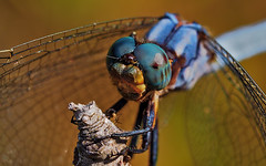 Blue dragonfly cazando (IvánBueno) Tags: libelulaazul macro color mzuiko60mmmacro