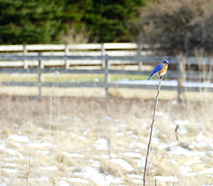 Bluebird at the cemetery (Eat With Your Eyez) Tags: bluebird bird blue avian animal wing wings feather feathers beak fly flying flight outdoors cemetery valley summit county ohio bath landscape plants trees sky bokeh panasonic fz1000