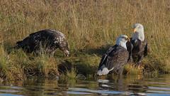 One-eyed Eagle (nickinthegarden) Tags: americanbaldeagle baldeagles eagles eaglepointpark harrisonriver harrisonmillsbccanada