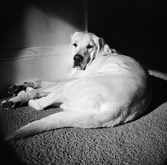 Suzanne (Timothy Lewis Jr.) Tags: holgaphotos holga120n holga analoguefilm blackandwhite blackandwhitefilm bw dogs kodaktrix trix trix120 trixpushed2stops