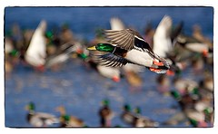 Mallard in flight. #photography #photooftheday #photoadaychallenge #canon7d #sigma150600 #nature #opcmag #project365 #yyc #calgary #mallard #duck #inflight