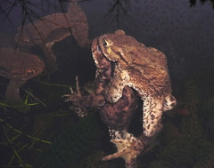 Amphibian passion (Durley Beachbum) Tags: frogs toads amphibians february bournemouth