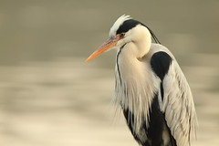 Morning (Teruhide Tomori) Tags: nature bird wild kyoto japan japon hirosawanoike pond winter animal greyheron アオサギ 野鳥 広沢池 京都 冬 鳥 動物 野生 日本