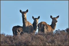 Red Deer (image 1 of 3) (Full Moon Images) Tags: dunwich heath nt national trust wildlife nature reserve animal mammal red deer