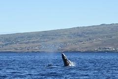 DSC_0238_01 (Don Holmgren) Tags: kohalacoast humpbackwhales breach