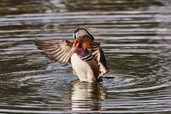 Anatra Mandarina 60 (simonealbini) Tags: anantramandarina ticino maddalena sommalombaerdo sigma150600c sonya7iii uccello acqua fiume italia