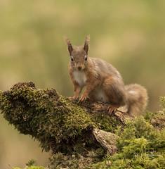 Red Squirrel (Ian howells wildlife photography) Tags: ianhowells ianhowellswildlifephotography redsquirrel nature naturephotography nationalgeographic canon canonuk wildlife wildlifephotography wales wild wildbirds