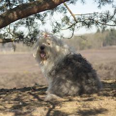 Sophie (dewollewei) Tags: oldenglishsheepdog oldenglishsheepdogs old english sheepdog sheepdogs sophieandsarah sophie oes heerde dog hond dewollewei