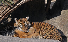 Sibling, chew toy there's a difference ? (AvesAg) Tags: tierpark tierparkberlin zoo berlin canon eos eosr r pantheratigrissumatrae sumatrantiger sumatratiger tiger cub tigercub cat katze carnivore endangered raubkatze