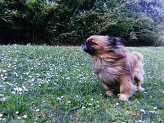 WhatsApp Image 2018-06-26 at 00.21.19 (zepatinador) Tags: dog puppy love bestfriend hairy fur pequinois pekingese