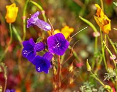 Walker Canyon_6 (SamOphoto2011) Tags: canon california flowers 7dmarkii 100400lmarkii wildflowers walkercanyon canterburybells campanulamedium lakeelsinore superbloom 2019