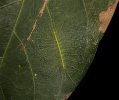 Nymphalid Butterfly Caterpillar (Euthalia cf. thibetana, Limenitidinae, Nymphalidae) (John Horstman (itchydogimages, SINOBUG)) Tags: insect macro china yunnan itchydogimages sinobug entomology butterfly lepidoptera caterpillar larva canon nymphalidae limenitidinae green crypsis camouflage above explore topf25