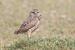 Burrowing Owl (rosemaryharrisnaturephotography) Tags: burrowingowl owl burrowing florida bird grass green daytime canoneos7dmak11 canonef100400mmusmlens rosemaryharris capecoral nature widlife coth5 ngc npc alittlebeauty coth