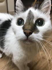 93/365/8 (f l a m i n g o) Tags: project365 365days march 27th 2019 wednesday cat angel pet animal explore photo flickr cute feline